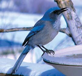 Western Scrub Jay on bird bath