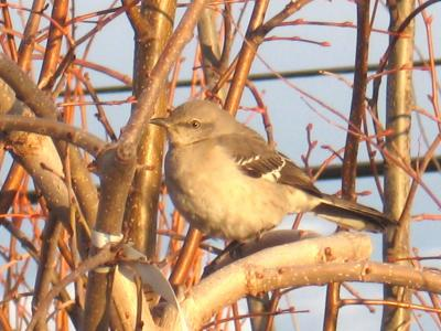 Northern Mockingbird PH