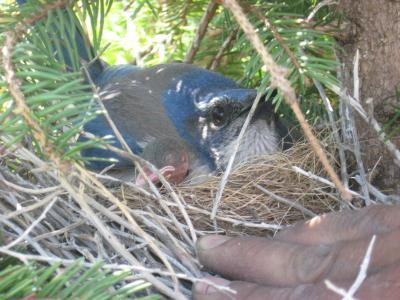 Scrub Jay Nest PH