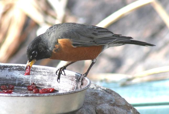 Robin eating crasins